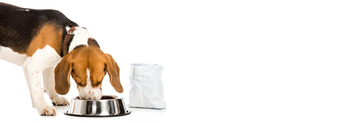 Beagle Enjoying Fresh Food